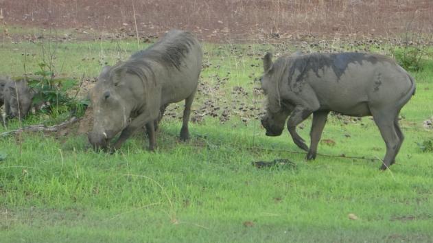 Warzenschweine, we Pumba von LionKing